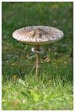 Parasol mushroom - Grote parasolzwam - Macrolepiota procera