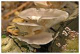 Oyster mushroom - Gewone oesterzwam - Pleurotus ostreatus