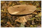 Prince mushroom - Reuzenchampignon - Agaricus augustus