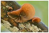 Jelly ear - Judasoor - Auricularia auricula-judae