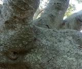 Private parts of a Moreton Bay Fig