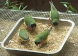 Gouldian finches in an aviary