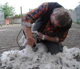 Shearing of an Angoragoat