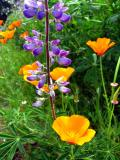 Wildflowers.Hagg Lake