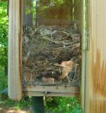 Brown-headed Nuthatch Nest