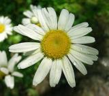 Daisy, Oxeye