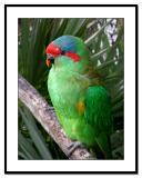 Green-Parrot-Perched.jpg