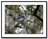 Bluejay-perched.jpg