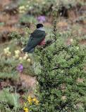 lewis's woodpecker in sage