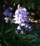 Bonny Blue Bells