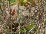 Eastern Crowned Leaf-Warbler