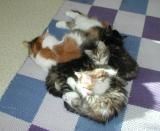 Mom Siiri with kittens napping in sun shine.