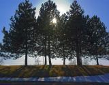 Sun in Pines