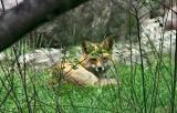 Fox not snoozing