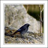 Black redstart, Portland, Dorset