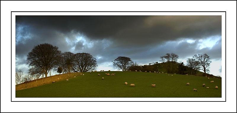 Sheep on the hills near Melplash, Dorset