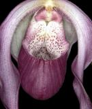Phragmipedium schroderae 'Coos Bay' AM/AOS