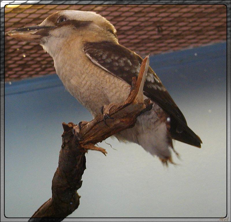 kookaburra.jpg(148)