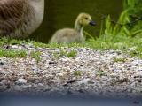 Baby Canadian goose.jpg(203)