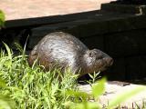 Bronzed Beaver.jpg(232)