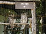 Barred Owls.jpg(238)