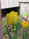 Two Darwin Tulips