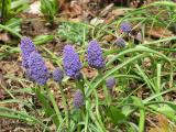 Muscari armeniacum, Blue Spike
