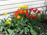 Mid Season Tulips