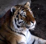 tigers___toronto__zoo_