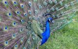 Peacock    ( Toronto  Zoo )