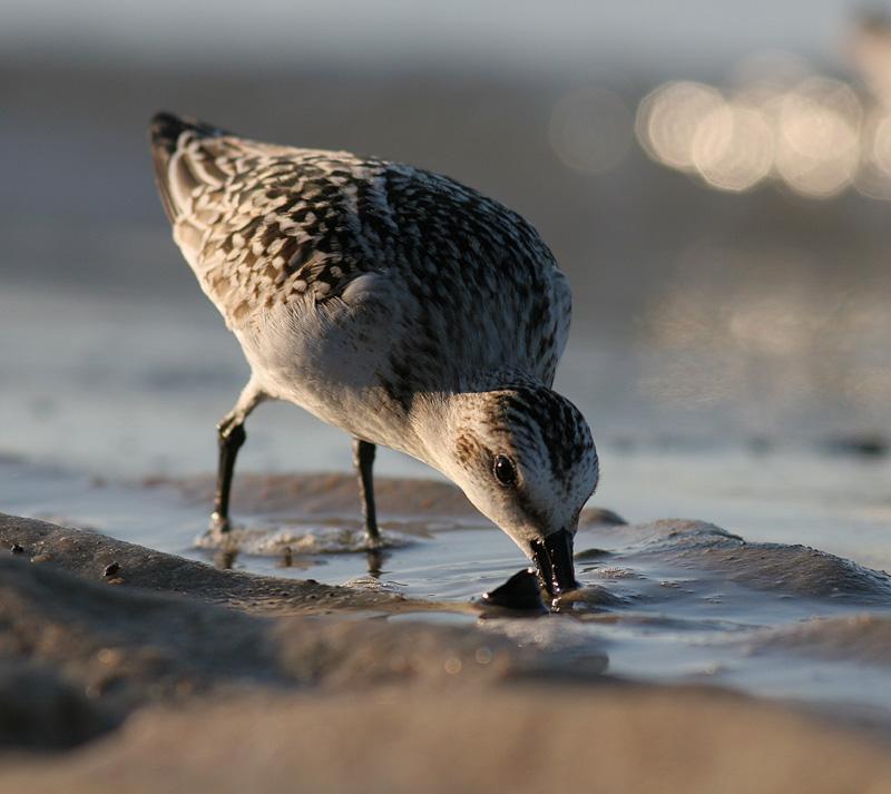 sanderling.jpg
