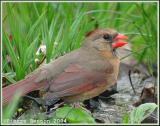 Cardinal rouge (Northern Cardinal)