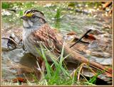 Bruant à gorge blanche (White-throated Sparrow)