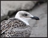 Greater Black-Backed Gull  (Juvenile)