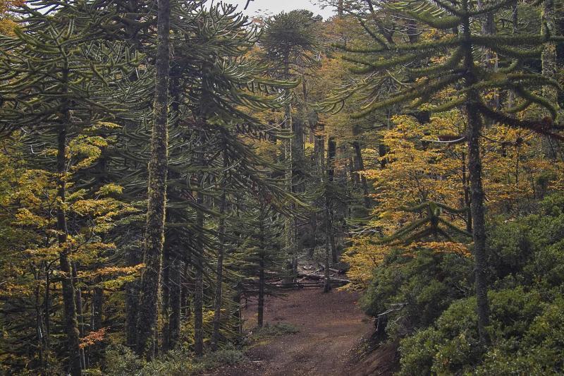 Chiles National Tree - Araucaria auracana