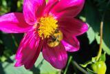 Chilean Bumblebee