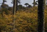 Araucaria and Nothofagus (southern beech)
