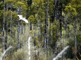 Kotuku - or White Heron