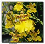 Orchid 26. Oncidium Goldiana