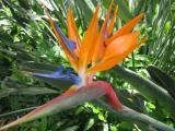 Bird of Paridise flower at the USS Arizona Memorial