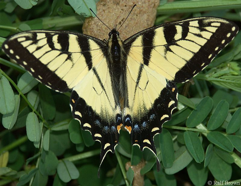 Swallowtail (?) Butterfly