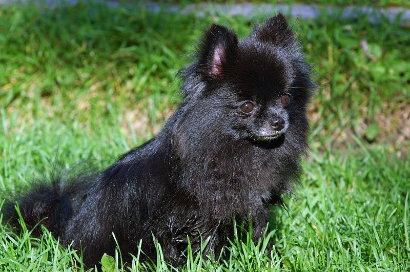 Black Pomeranian.jpg
