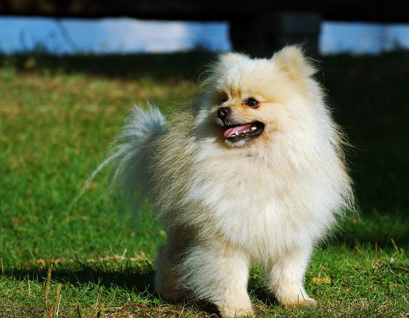 White Pomeranian crop.jpg