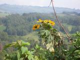 Yellow flowers near Ndu