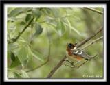 Paruline à poitrine baie / Bay-Breasted Warbler