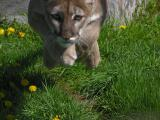 cougar_4me.jpg