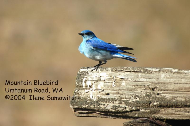 Mountain Bluebird 3708.jpg