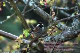 Chestnut-backed Chickadee 0039.jpg