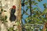 Red-breasted Sapsucker 0439.jpg