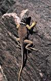 (Leopard?) lizard
